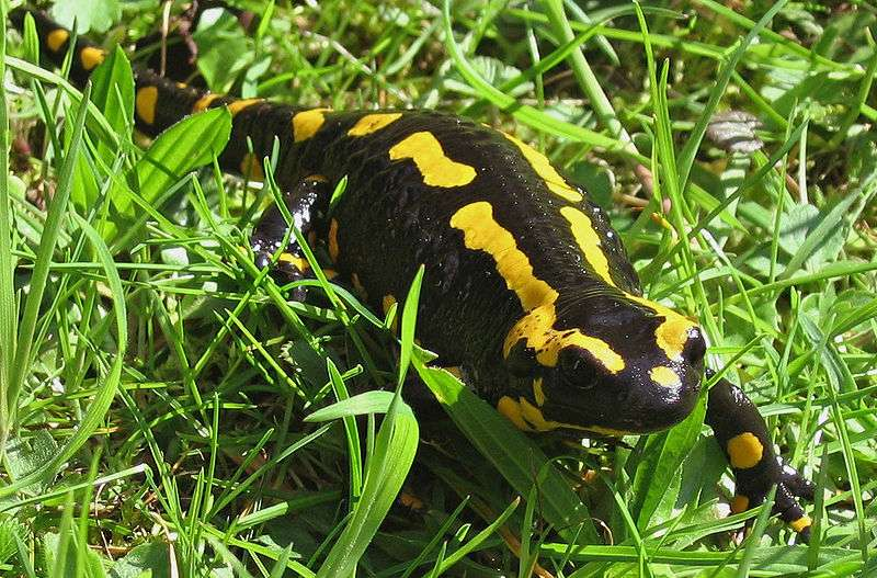 Photo d'une salamandre terrestre. © Michael Linnenbach - GNU Free Documentation License, Version 1.2