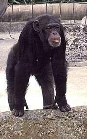 De la supériorité de Mlle Chimpanzé sur M. Chimpanzé
