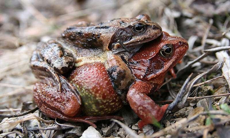 Photo d'une grenouille rousse. © Richard Bartz - licence Creative Commons Paternité – Partage des conditions initiales à l'identique 2.5 générique
