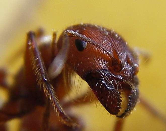 Une fourmi vue de près. La myrmécofaune de la Terre comprend près de 13.000 espèces répertoriées mais il en existe sûrement beaucoup plus. © Steve Jurveton, Flickr, CC by 2.0