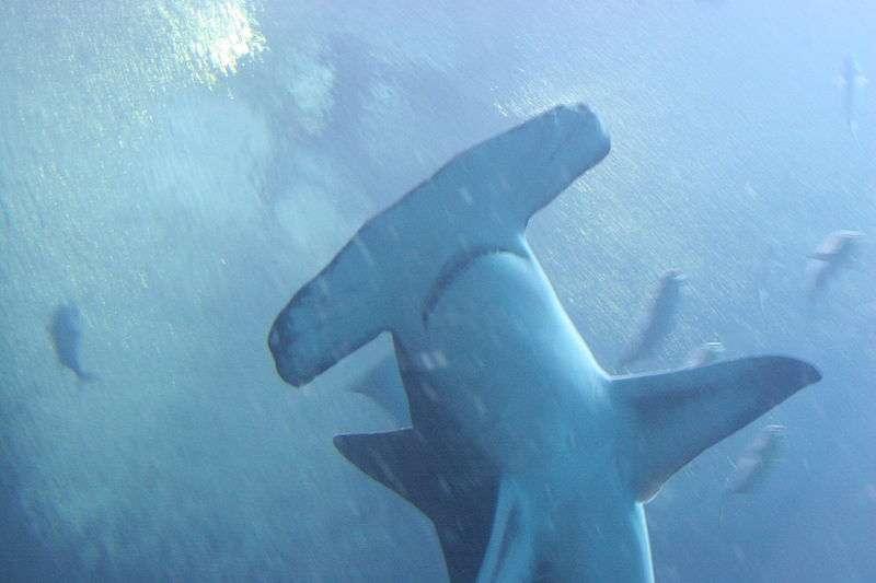 Photo d'un grand requin marteau. © Dave M from Atlanta, CCA 2.0 Generic license