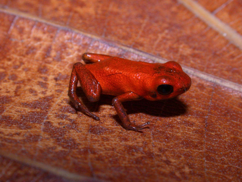 La grenouille Andinobates geminisae a pour particularité d'avoir une peau uniformément orange. © Cesar Jaramillo, STRI