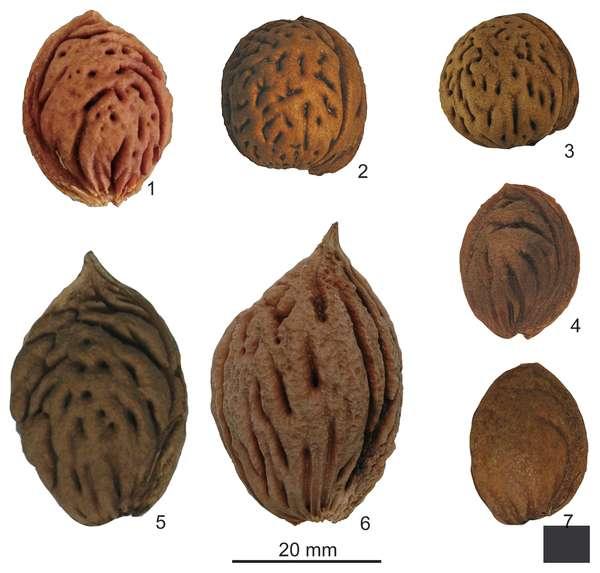 Noyaux de pêches domestiques (par exemple le 6) et sauvages (par exemple le 1). © Zheng et al. 2014, Plos One, cc by 4.0