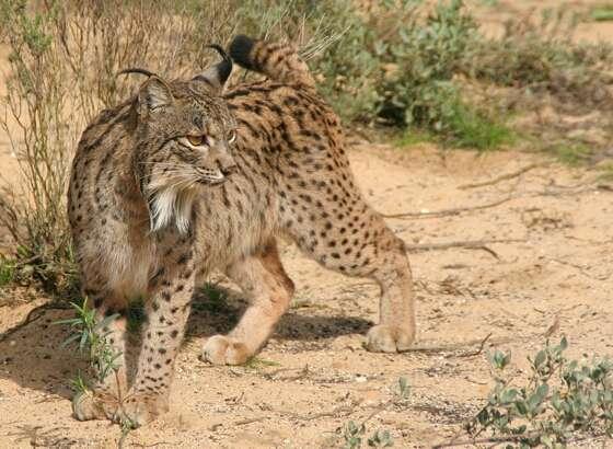 Photo d'un lynx pardelle. © Programma de Concervacion Ex-situ del Lince Iberico - Commons creative Attribution 2.5 Generic licence