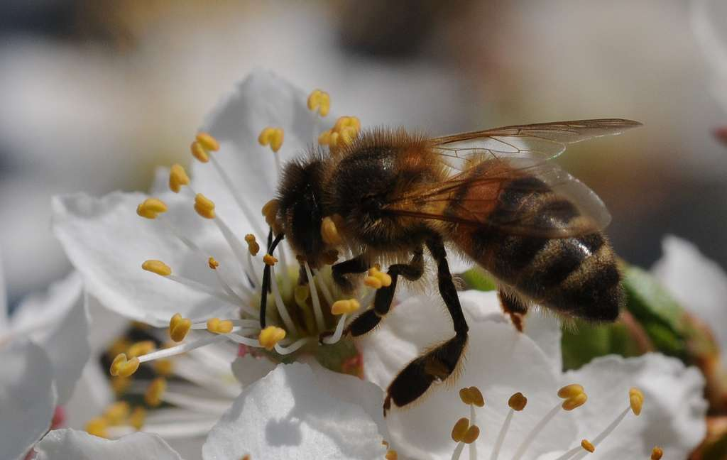 En France, 70 % des 6.000 espèces de plantes recensées (sauvages et cultivées) sont pollinisées par des insectes. © ComputerHotline, Flickr, cc by 2.0