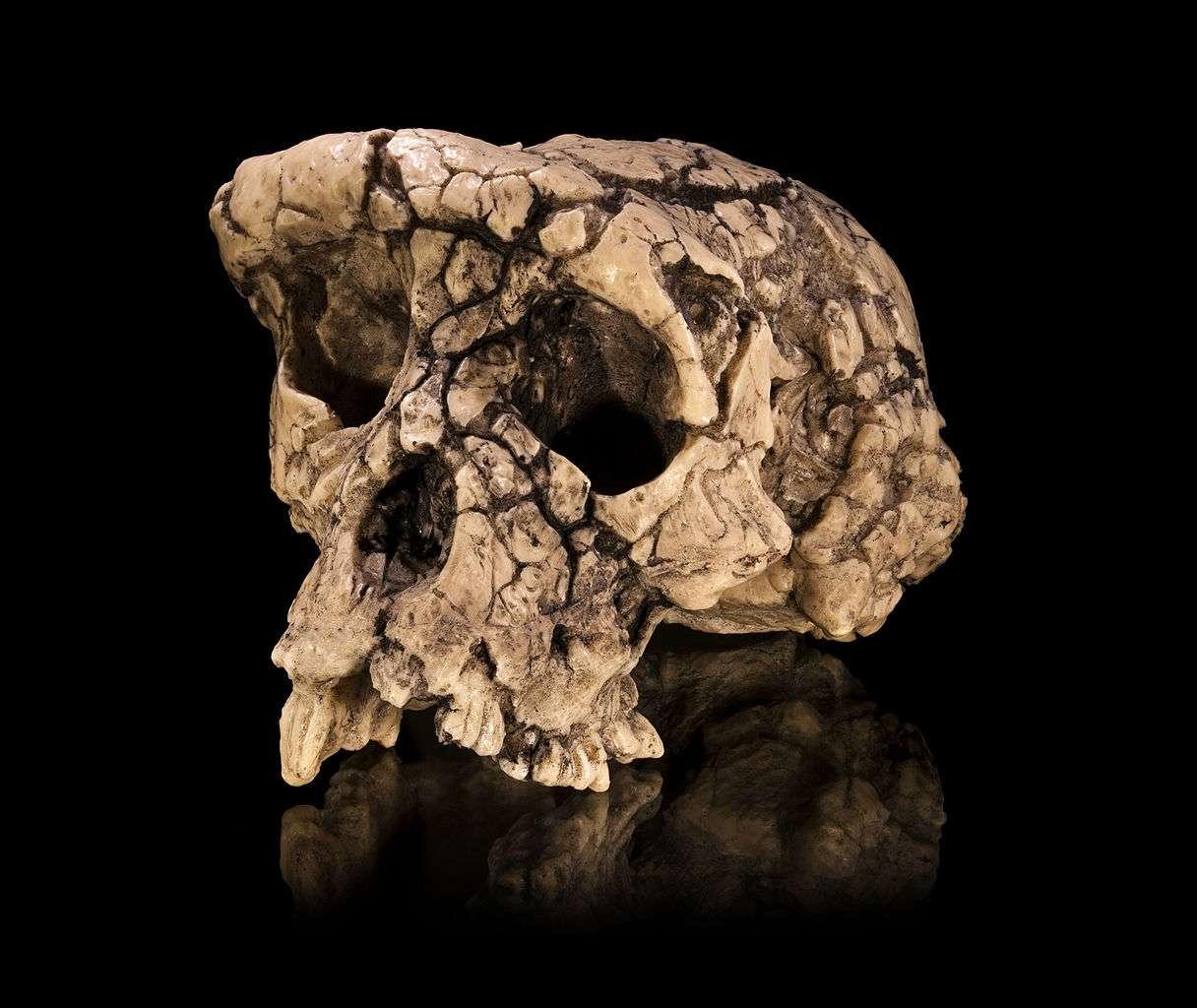Pour certains spécialistes, Toumaï (Sahelanthropus tchadensis, un hominidé fossile ayant vécu voilà sept millions d'années), dont on voit un moulage du crâne, serait proche de l'ancêtre commun à l'Homme et au chimpanzé. © Didier Descouens, Wikipédia, cc by sa 3.0