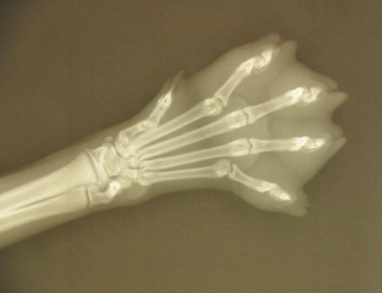 Le roentgenium a été baptisé en l'honneur de Wilhelm Röntgen qui découvrit les rayons X et obtint le premier prix Nobel de physique de l'histoire. Ici, la radiographie d'une patte de chat. © Fourrure, Flickr, CC by-sa 2.0