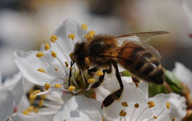 Les abeilles sont particulièrement sensibles à l'action combinée de l'exatétracycline et de pesticides. © ComputerHotLine, Flickr, cc by 2.0