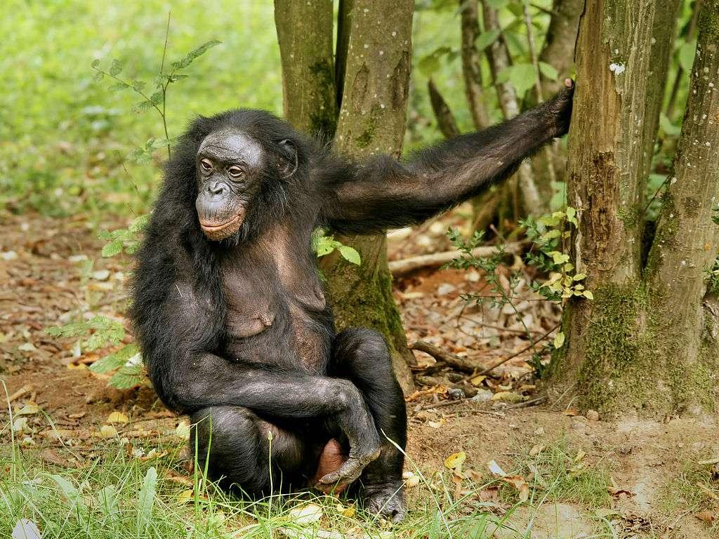 Le bonobo a environ 98 % d'ADN en commun avec l'Homme. © Hans Hillewaert, Wikimedia Commons, cc by sa 3.0
