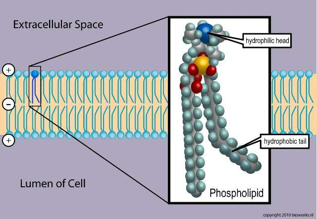 Représentation schématique d'un phospholipide à l'intérieur d'une bicouche lipidique. On aperçoit la tête hydrophile (hydrophilic head) ainsi que la queue hydrophobe (hydrophobic tail). © Ties van Brussel, Wikimedia Commons