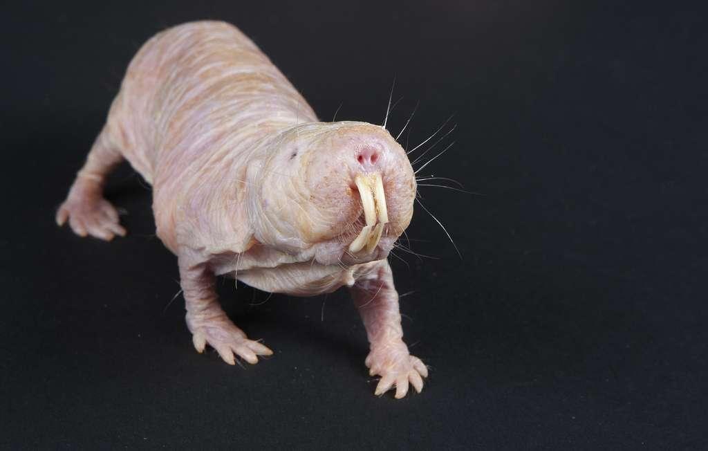 Le rat-taupe nu peut vivre dix fois plus longtemps que sa cousine la souris. Cette longévité serait due à une synthèse protéique beaucoup plus efficace que chez d'autres mammifères. © Smithsonian's National Zoo, Flickr, cc by nc nd 2.0