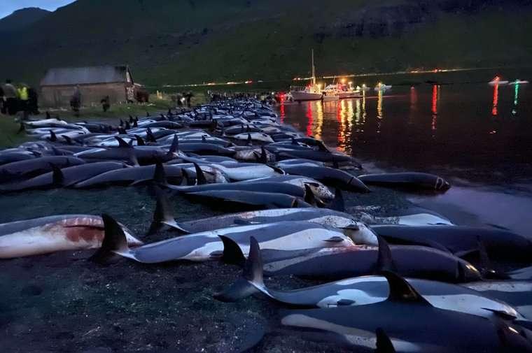 Près de 1.500 dauphins à flancs blancs ont été massacrés aux îles Féroé. © Sea Shepherd
