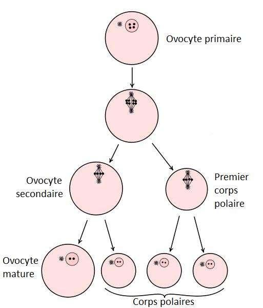 L'ovogenèse mène à la production de deux ou trois corps polaires. © DR
