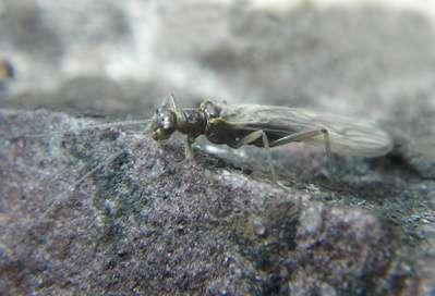 L'insecte Lednia tumana disparaîtra certainement en même temps que les glaciers. © Joe Giersch, USGS