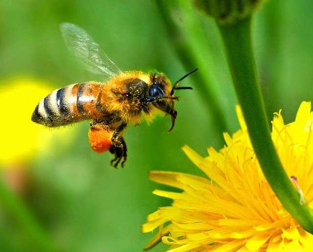 Dans une étude présentée dans la revue Science en avril 2012, plus de 600 abeilles ont été exposées volontairement à des doses non létales de thiaméthoxame puis libérées. Environ 30 % d'entre elles n'ont pas pu rejoindre leur ruche d'origine. © Autan, Flickr, CC by-nc-nd 2.0