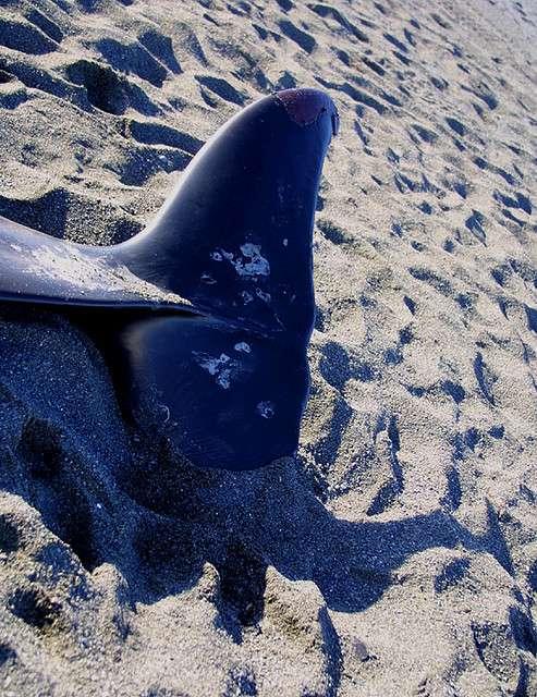 Certaines baleines s'échouent sur les plages, peut-être suite à la panique provoquée par les sonars. © fiat luxe, Flickr, by-nd 2.0