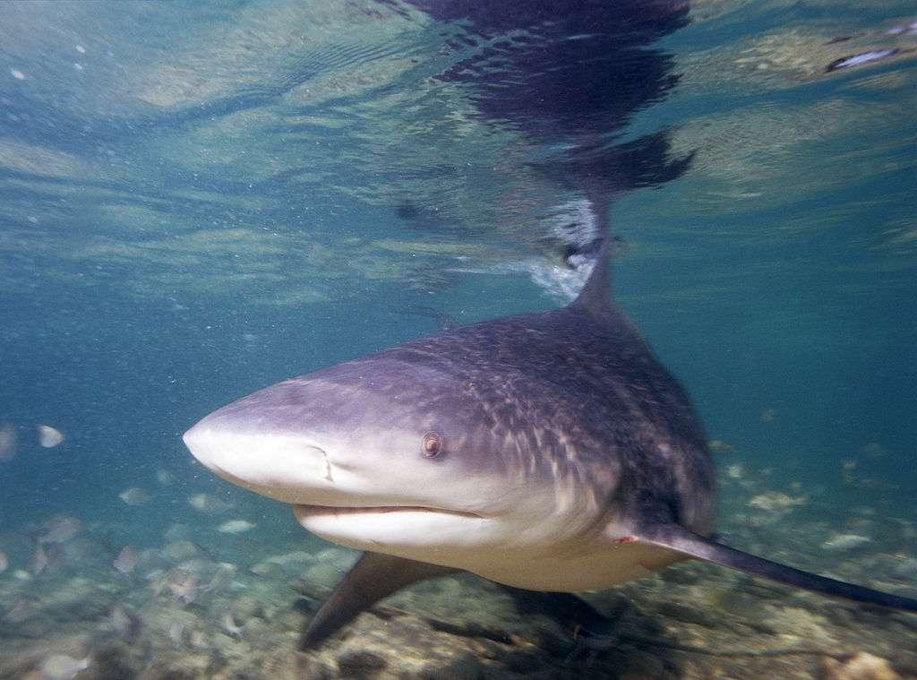 Le requin-bouledogue vit dans toutes les mers tropicales, à proximité des côtes, et jusqu'à 155 mètres de profondeur. Cette espèce est jugée agressive et aussi dangereuse que le grand requin blanc pour l'Homme. © Albert Kok, Wikipédia, GNU 1.2