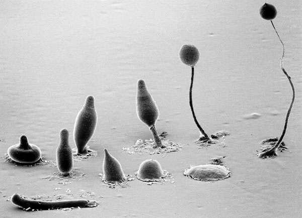 Les différentes formes des communautés d'amibes, du pseudoplasmode (limace) au sporocarpe (globe sur une tige). © M.-J. Grimson & R.-L. Blanton