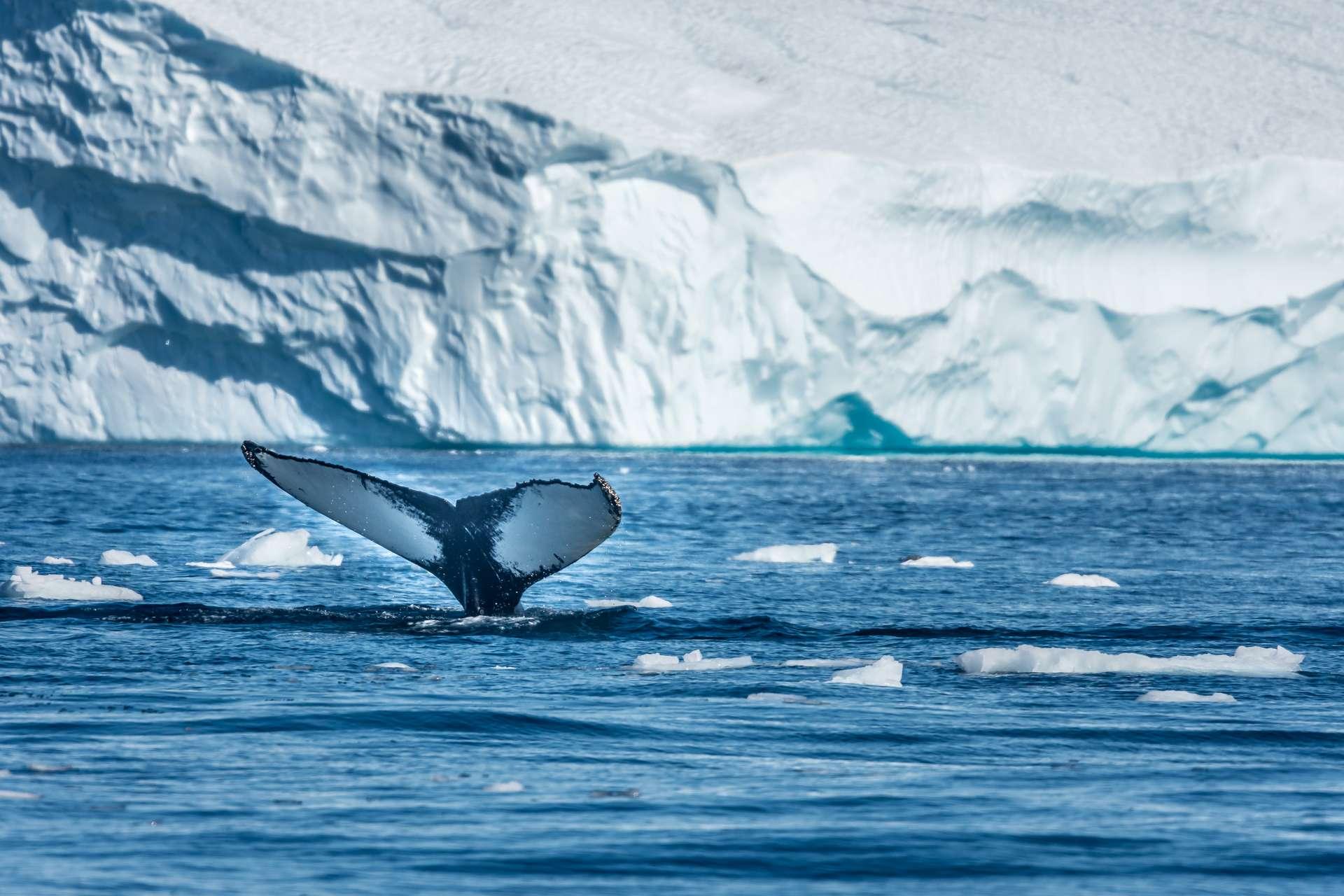 La fonte du Groenland a des conséquences sur la vie aux alentours. © Luis, Adobe Stock