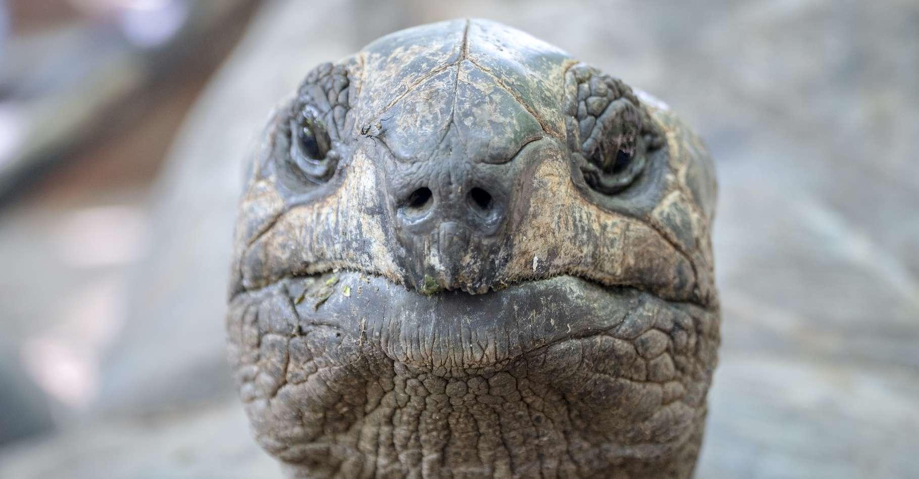 Les tortues géantes jouissent d'une espérance de vie étonnante. Une incroyable mémoire aussi, nous apprennent aujourd'hui des chercheurs. © rimom, Adobe Stock