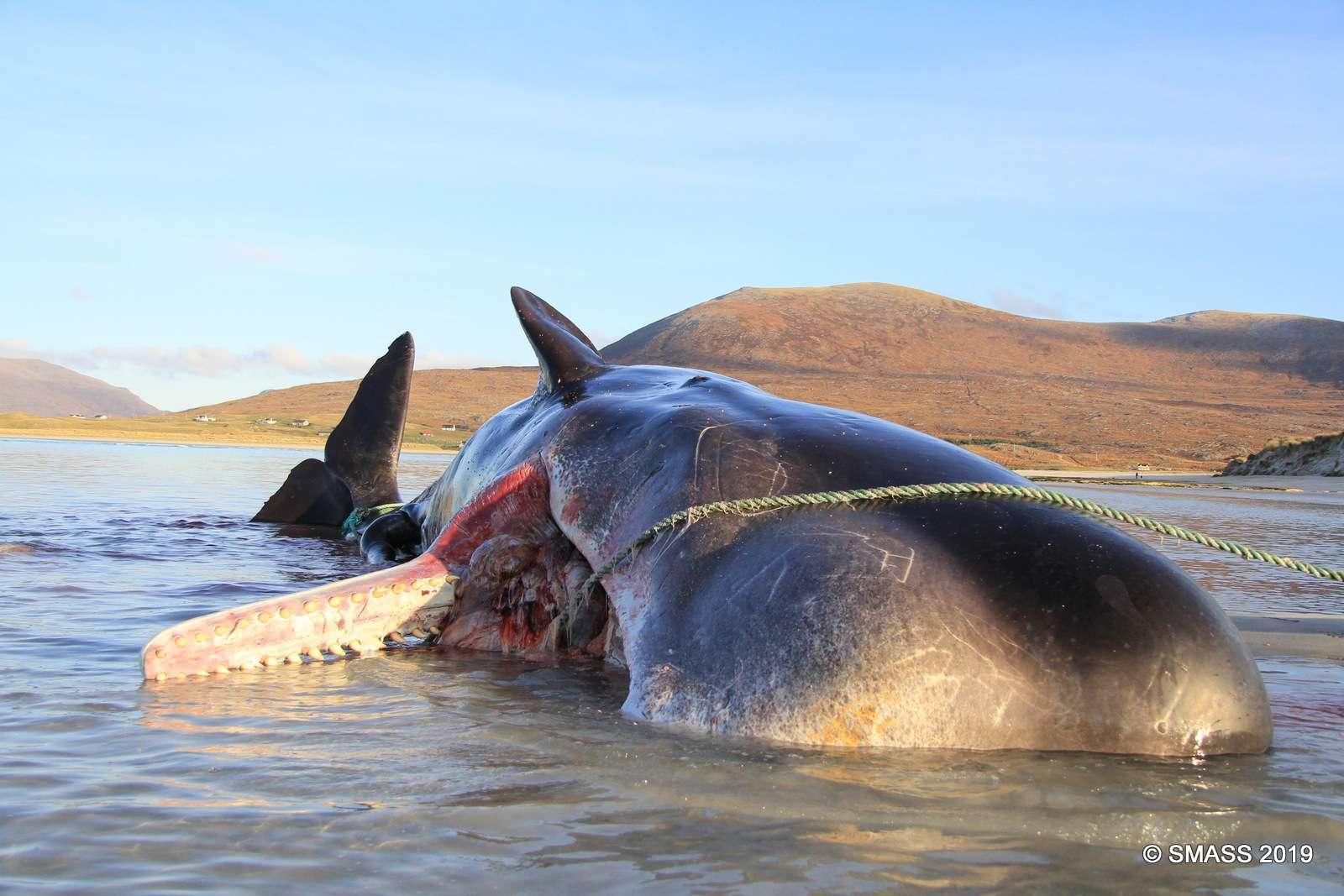 Un cachalot s'est échoué en Écosse avec une boule d'ordure de plus de 100 kilogrammes dans l'estomac. © Smass 2019