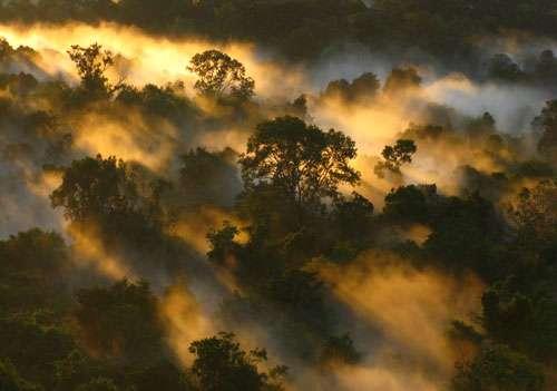 Canopée de la forêt amazonienne à l'aube, au Brésil. © Peter van der Sleen
