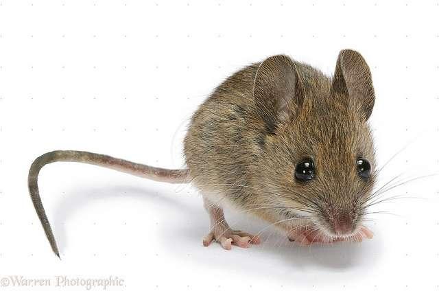 Des chercheurs ont rendu une souris plus intelligente que la normale, en manipulant un seul gène. © Mike P, Flickr, CC by nc 2.0