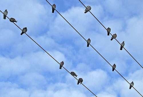 Ces pigeons perchés sur des fils électriques ne risquent pas l'électrocution. © Racineur CC by-nc-nd 2.0