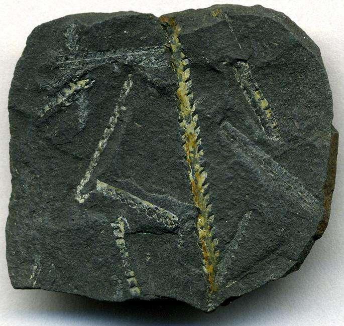 Climacograptus wilsoni, des graptolites fossilisés dans un schiste noir. Les graptolites étaient des animaux marins vivant en colonies. Quelques espèces existent encore aujourd'hui, alors que l'on croyait ce groupe éteint. Crédit : James St. John