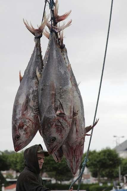 Suite à la 22e réunion ordinaire de la Cicat, les quotas de pêche de quelques espèces, mais pas du thon rouge, ont été revus. © Alexandre Dulaunoy, Flickr, cc by sa 2.0