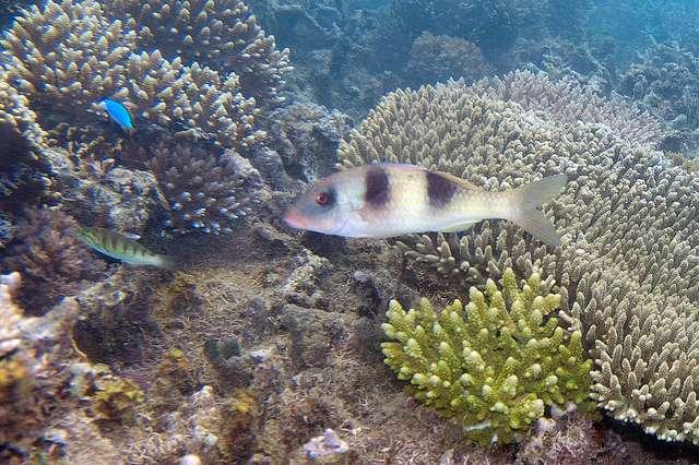 Différent coraux du genre Acropora, dont Acropora digitifera au fond à droite. En connaissant leur patrimoine génétique, des solutions seront peut-être trouvées pour mieux protéger ces espèces des menaces qui les guettent. © Paul Asman & Jill Lenoble, Flickr, CC-by-2.0