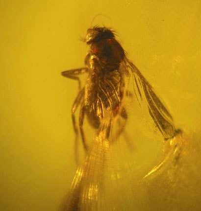 Cette petite mouche, longue d'environ 1,2 mm, est piégée dans un bloc d'ambre provenant d'Amazonie occidentale (Iquitos, nord-est du Pérou). Les espèces actuelles apparentées à ce spécimen, âgé de 12 à 15 millions d'années, se nourrissent de matière organ