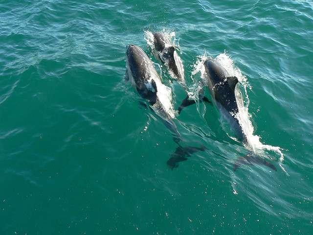 Certains dauphins peuvent plonger au-delà de 600 m de profondeur. © amateur_photo_bore, Flickr, cc by nc nd 2.0