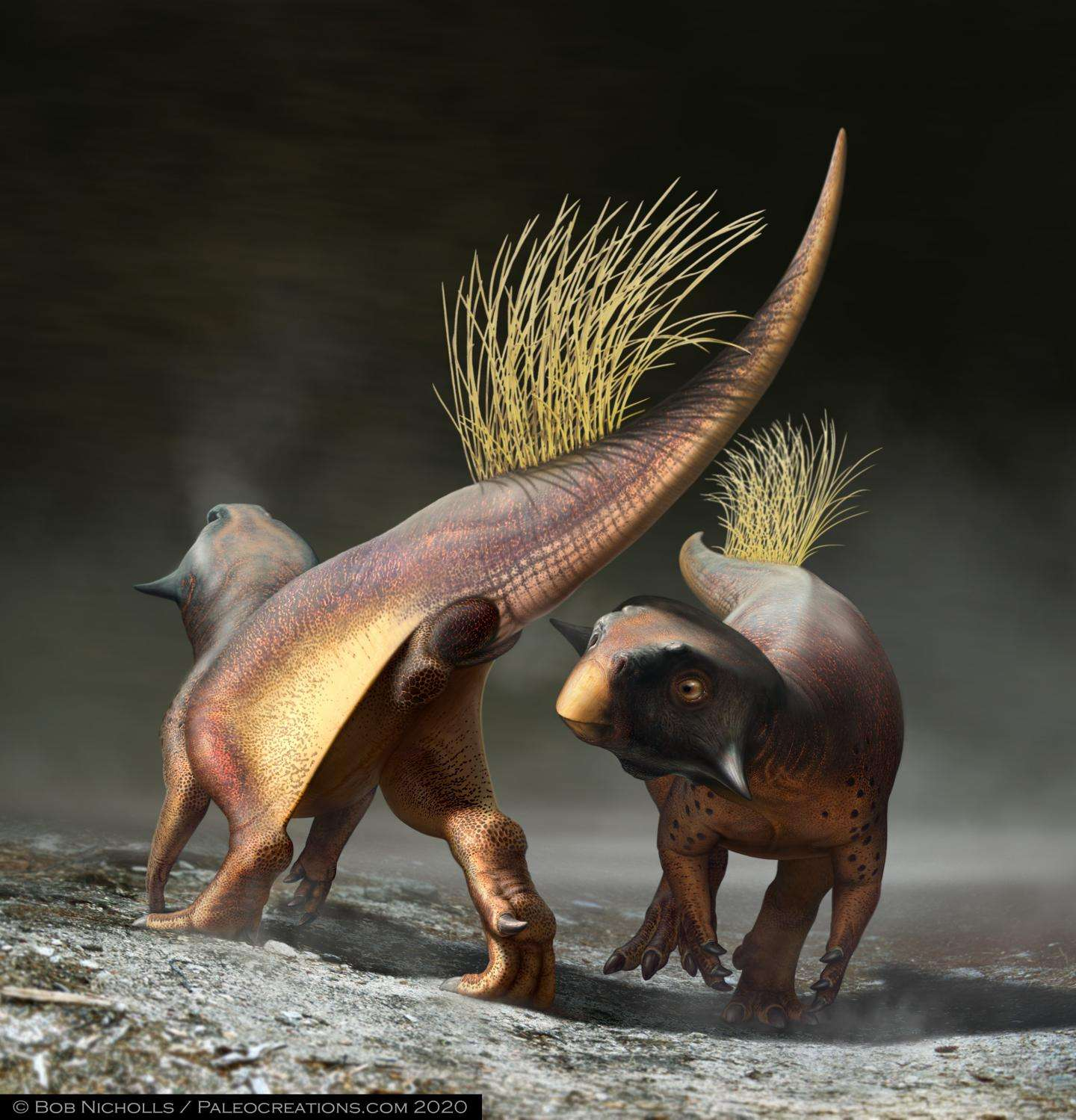 Le paléoartiste Robert Nicholls a reconstruit Psittacosaurus, en illustrant l'une des utilisations possibles du cloaque du dinosaure : la signalisation durant la parade nuptiale. © Bob Nicholls, Paleocreations.com 2020
