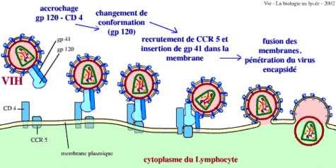 Schema d'entree du VIH dans les lymphocytes.Crédits : Gilles Furelaud et Benjamin Pavie.
