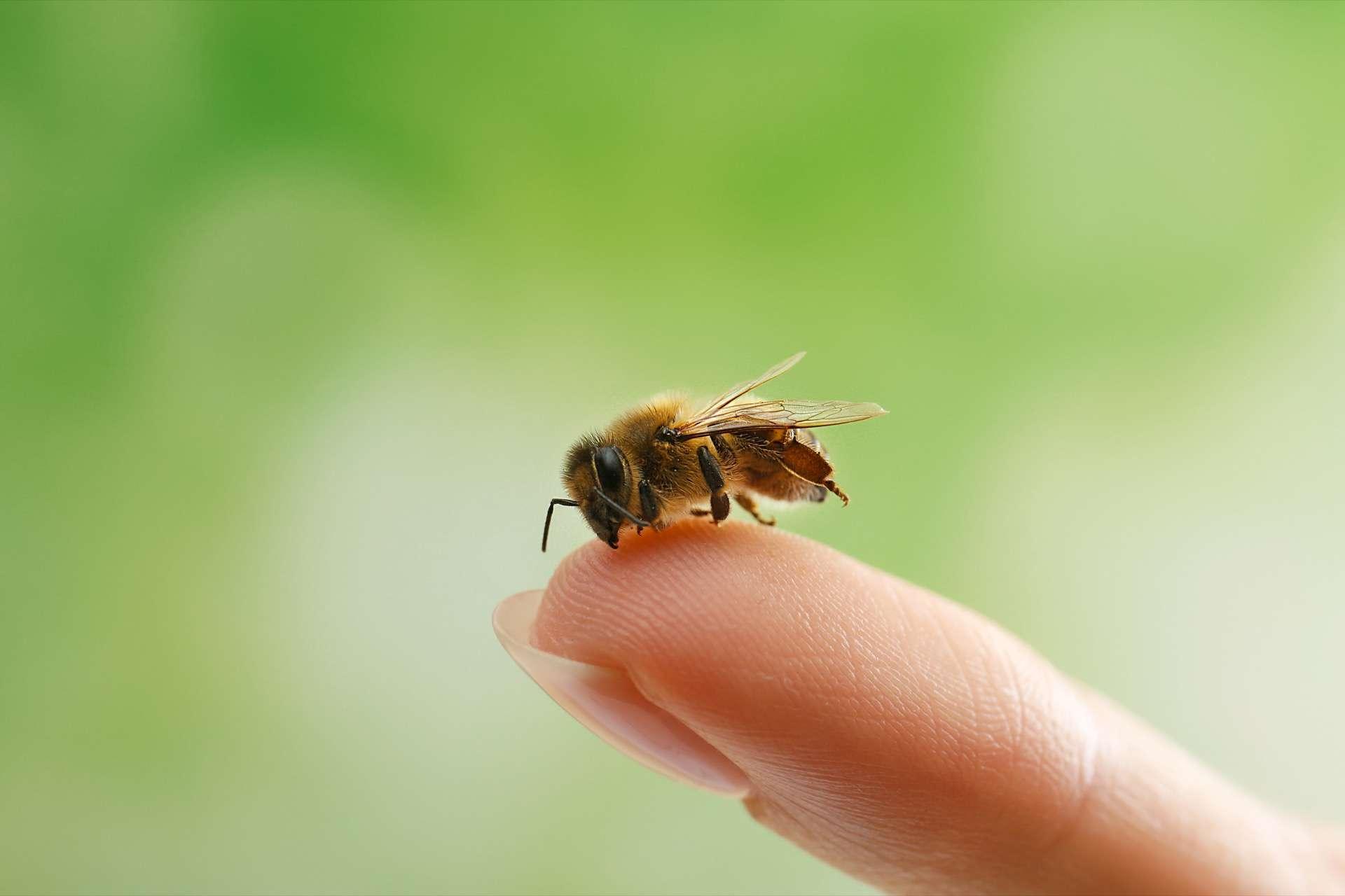 Les abeilles sont capables de détecter avec un grande précision des échantillons positifs au Covid-19. © Africa Studio, Adobe Stock