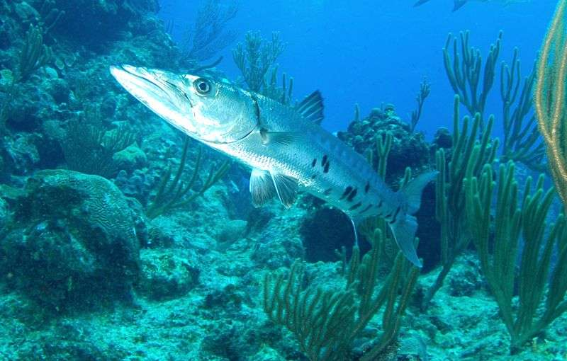 Photo d'un grand barracuda. © Albert Kok, GNU FDL Version 1.2