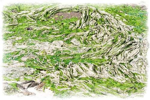 Algues vertes en cours de décomposition : on distingue la couche superficielle blanche. © Ludo29880 CC by sa