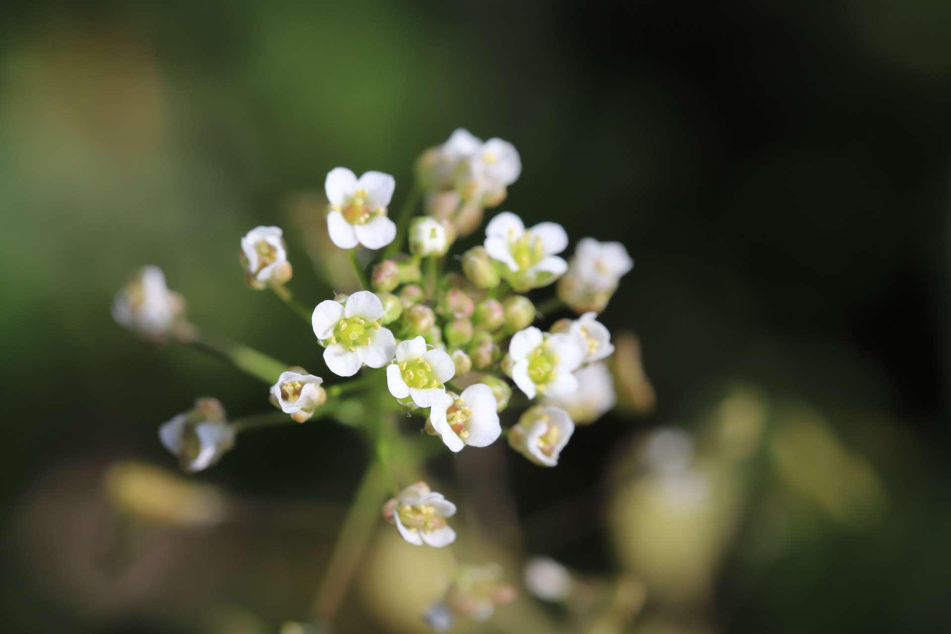 Les scientifiques ont utilisé la plante modèle Arabidopsis thaliana pour ces expériences. © 俊朗 浅川, Adobe Stock