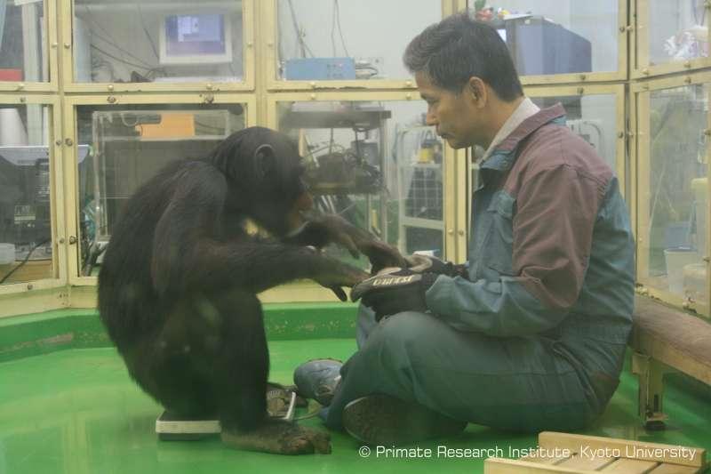 Le chimpanzé Ayumu et le chercheur Tetsuro Matsuzawa travaillent ensemble depuis près de dix ans. Ayumu est un singe surdoué : il est doté d'une mémoire immédiate hors du commun. © Université de Kyoto, Primate Research Institute