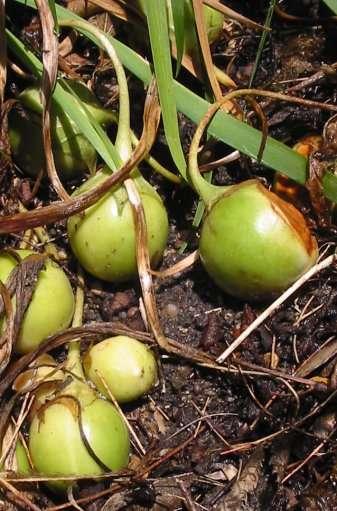 Fruits de la mandragore. © Bouba, Flickr CC by sa 3.0