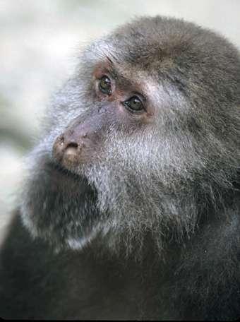 Le macaque du Tibet peut vivre jusqu'à 30 ans. © Noël Rowe, GNU FDL Version 1.2