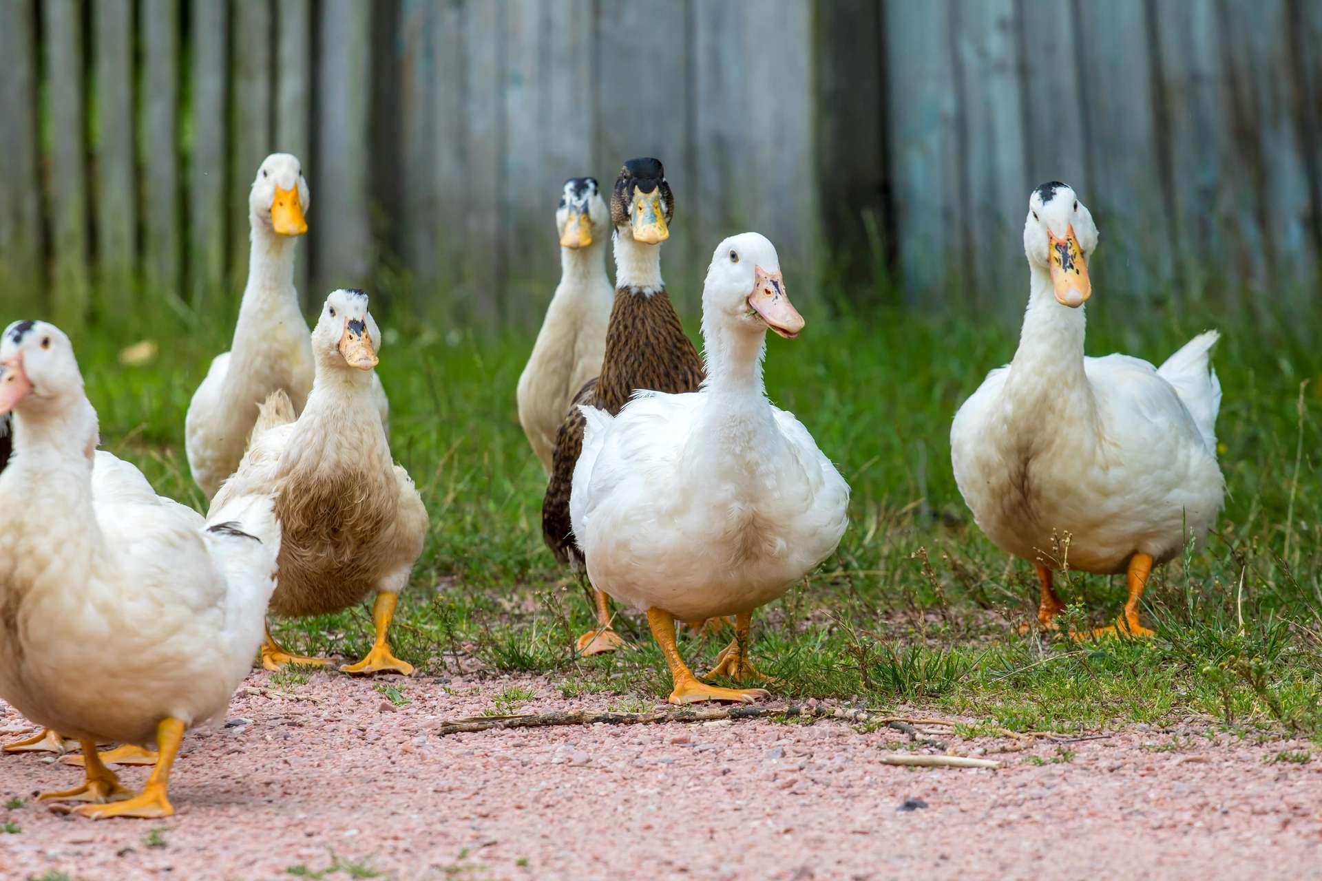 Les canards, à l'instar d'autres espèces d'oiseaux consommant des œufs de poissons, peuvent aider ces derniers à migrer dans des lieux isolés. © Liubov, Adobe Stock