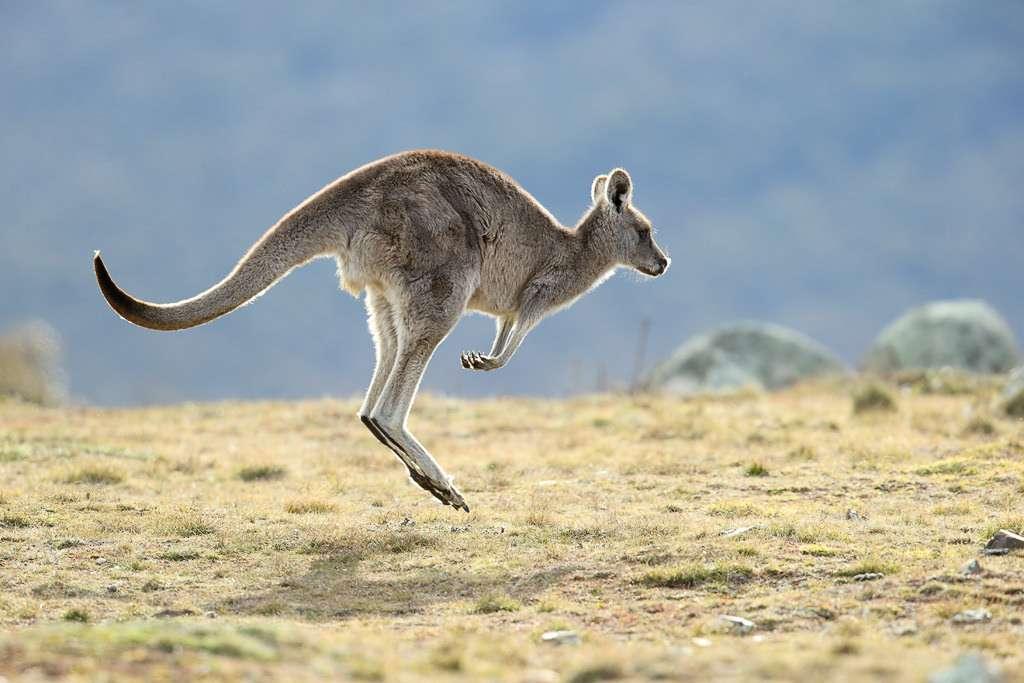 Le kangourou vit exclusivement en Australie et en Nouvelle-Guinée pour les kangourous arboricoles © Oystercatcher,cc by-nc-sa 2.0