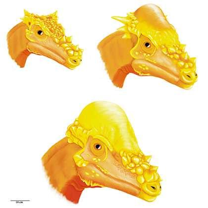 En haut à gauche, Dracorex hogwartsia et en haut à droite Stygimoloch spinifer ne seraient en fait que des stades de développement différents de Pachycephalosaurus wyomingensis représenté en bas de ce dessin à l'âge adulte. Crédit : Holly Woodward/Montana State University
