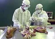 Examen, à Djakarta, de poulets victimes de l'influenza aviaire