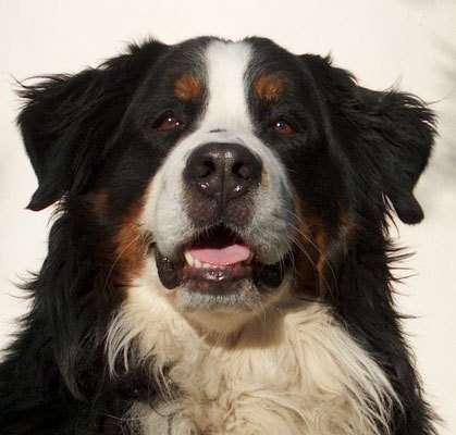 Des chiens recouvrent la vue grâce à une thérapie génique
