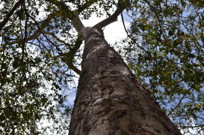 Le Karomia gigas est l'un des arbres les plus rares du monde : il n'en reste plus qu'une vingtaine d'exemplaires dans la nature. © GlobalTreesCampaign / Twitter