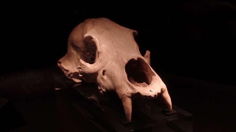 L'ours des cavernes Ursus spelaeus, dont on voit ici un crâne, atteignait 1,3 m de haut au garrot et 3,5 m de haut en position dressée, pour un poids moyen de 450 kg. © Valugi, Wikimedia commons, cc by sa 3.0