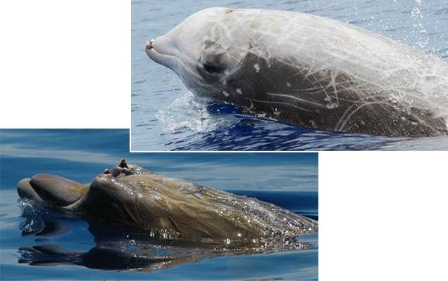 En haut, la baleine à bec de Cuvier, Ziphius cavirostris, la plus abondantes dans l'étude de la NOAA. En bas, la baleine à bec de Blainville, Mesoplodon densirostris, qui vit dans les eaux chaudes est très rare dans la zone d'étude © Bahamas Marine Mammal Research Organisation